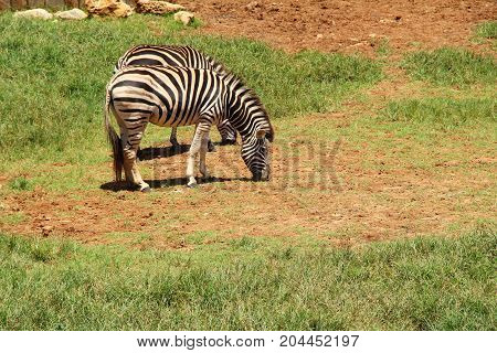 Zebra in the zoo with the nature