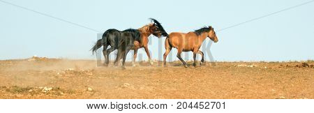 Wild Horse Mustang Stallion snaking or driving his mares in the Pryor Mountains Wild Horse Range on the state border of Wyoming and Montana United States
