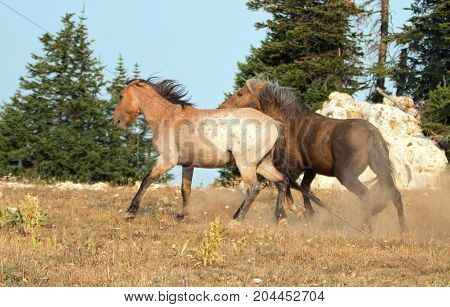 Wild Horses Mustang Stallions running and fighting in the Pryor Mountains Wild Horse Range on the state border of Wyoming and Montana United States