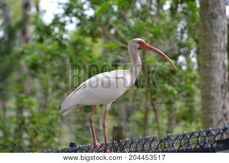 white ibis on a fence in florida