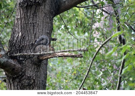 Squirrel rests momentarily on steady branch before jumping