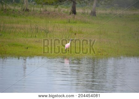 roseate spoonbill are a beautiful pink wading bird poster