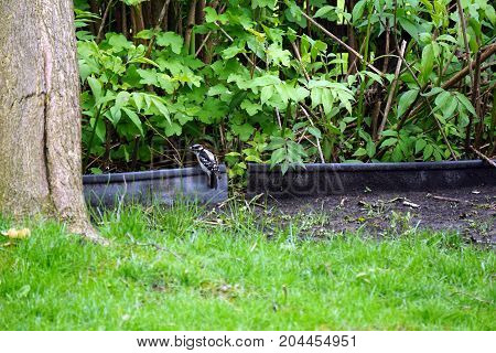 A small male downy woodpecker (Piccoides pubecens) perches on black plastic landscape edging beside a garden in Joliet, Illinois during May.