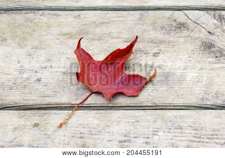 Vibrant red maple leaf lying on rustic wooden background edges slightly curled. Autumn or Canada concept