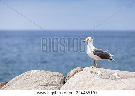 Glaucous Gull Larus Hyperboreus