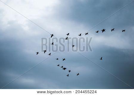 Flock Of Black Cormorants In Cloudy Sky