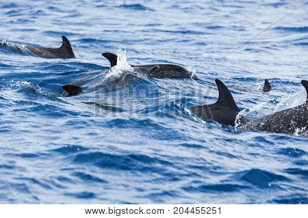 Flock Of Common Dolphins Swimming
