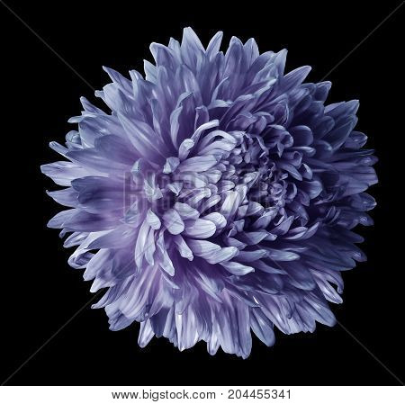 Blue-violet aster flower isolated on black background with clipping path. Closeup no shadows. Nature.