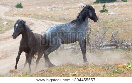 Wild Horses Mustang Stallions fighting in the Pryor Mountains Wild Horse Range on the state border of Wyoming and Montana United States