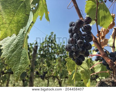Ripe Grapes On The Vineyard