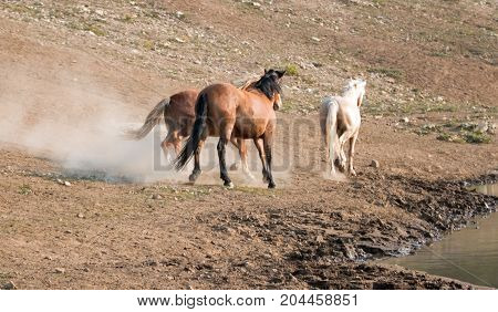 Wild Horses Mustang Stallions running and fighting  next to the watering hole on Sykes Ridge in the Pryor Mountains Wild Horse Range on the state border of Wyoming and Montana United States