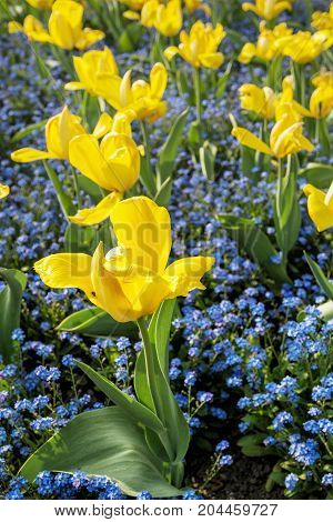 Yellow tulips and forget-me-not flowers planted in the park. Springtime scene.
