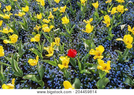 Red and yellow tulips with forget-me-not flowers planted in the park. Springtime natural scene.