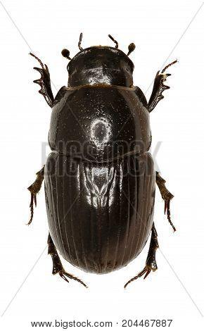 Dung Beetle Aphodius on white Background - Aphodius (Teuchestes) fossor (Linnaeus 1758)