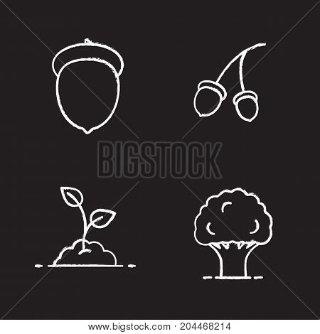 Forestry chalk icons set. Oak tree and fruit, growing sprout. Isolated vector chalkboard illustrations