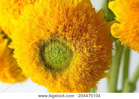 Bunch of sunflowers Teddy Bear in a glass vase. A dwarf sunflower plant with multiple large yellow golden double flowers