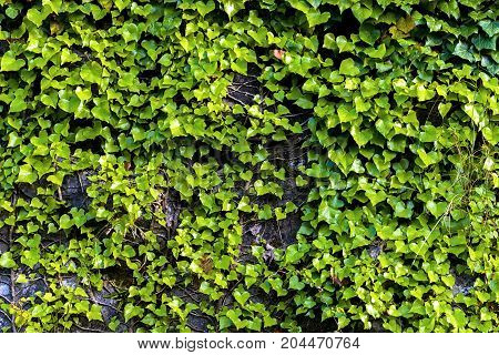 Texture of green plant closeup on the wall