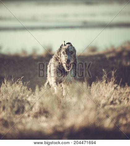 Big grey dog runs forward across the grey grass. Irish Wolfhound
