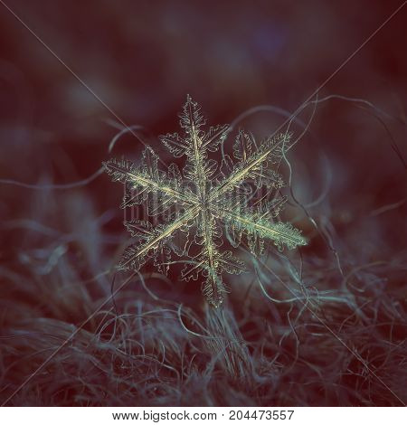 Real snowflake at high magnification. Macro photo of stellar dendrite snow crystal with hexagonal symmetry, ornate arms, many side branches and elegant shape. Snowflake glowing on dark background.
