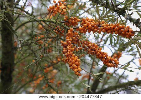 Sea buckthorn / Seabuckthorn - a berry rich in vitamin C