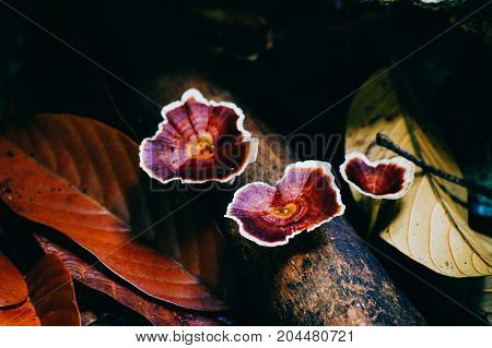 Reshi mushrooms on an old piece of wood in the tropical rain forest of Borneo