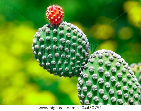 Prickly pear cactus close up with fruit in red color cactus spines. Sicily Italy