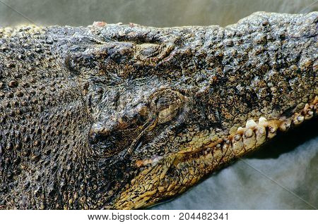 Nile crocodile Crocodylus niloticus in the water close-up detail of the crocodile head with open eyes. Crocodile head close up in nature of Borneo