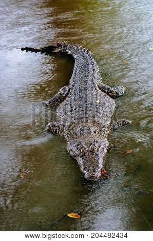 Nile crocodile Crocodylus niloticus in the water close-up detail of the crocodile with open eyes. Crocodile head close up in nature of Borneo