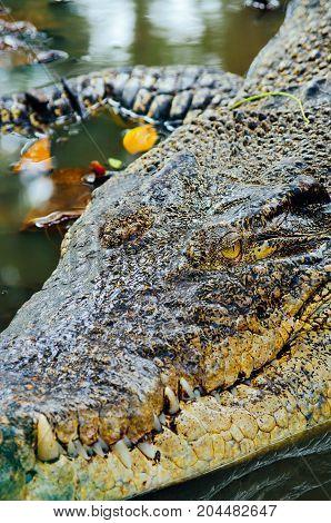 Nile crocodile Crocodylus niloticus close-up detail of teeth of the crocodile with open eye. Crocodile head close up in nature of Borneo