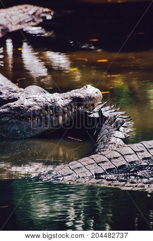 Nile crocodiles Crocodylus niloticus in the water close-up detail of the crocodiles. Crocodiles close up in nature of Borneo