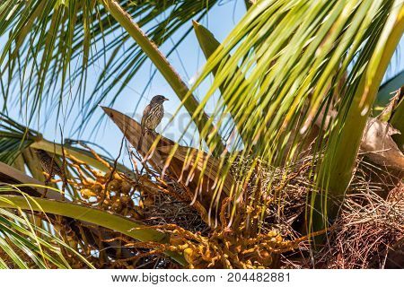 Palmchat (Dulus dominicus) bird sits on a palm tree in Bayahibe La Altagracia Dominican Republic. Close-up.