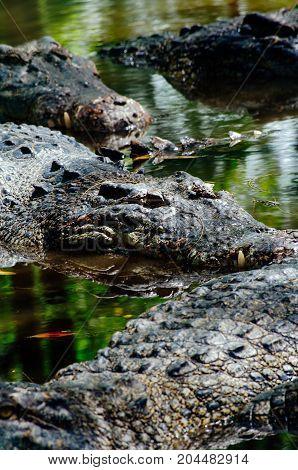 Nile crocodiles Crocodylus niloticus close-up detail of teeth of the crocodile with open eye. Crocodile head close up in nature of Borneo