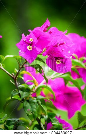 Beautiful pink flowers in the garden floral background spring and summer concept. Soft focus of Pink Bougainvillea glabra Choisy flower with leaves. background blurry Asian flowers poster