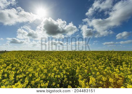Beautiful Yellow Flowering Rapeseed Field In Normandy, France. Country Agricultural Landscape On A S