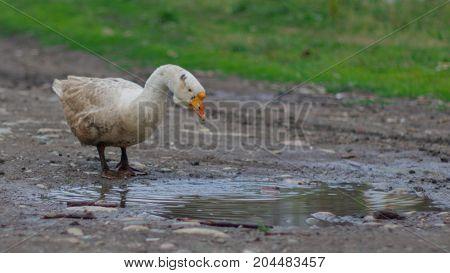 Organic farming concept. A goose grazing outside.