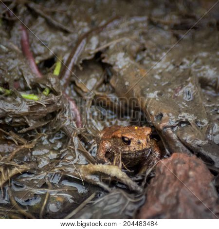 Young European common toad hiding in wet dirt with earthworms around