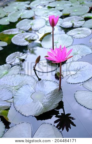 Beautiful Pink Lotus, water plant with reflection in a pond.