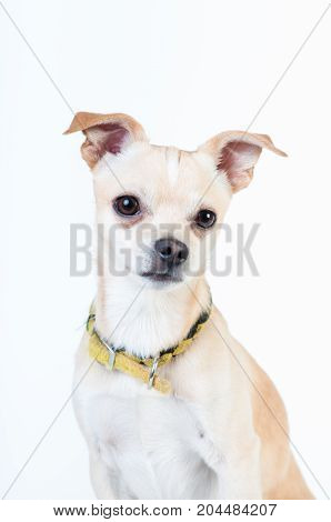 Little cute white dog portrait isolated on white background at studio