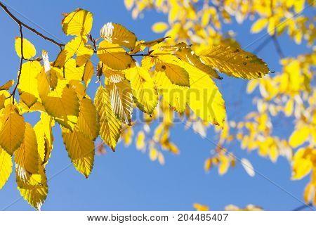 Fresh fall yellow golden tree foliage close up on blue sky