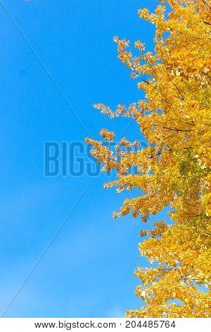 Vibrant fall yellow golden tree foliage on blue sky border