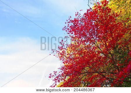 Vibrant red maple leaves in fall sunny yellow park with blue sky