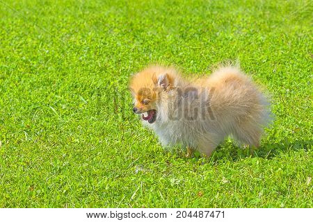 Spitz dog yawns wide opening its mouth and sticking out a pink tongue.. Runs on the green grass, well lit by the sun. Space under the text. 2018 year of the dog in the eastern calendar Concept: parodist dogs, dog friend of man, true friends, rescuers.
