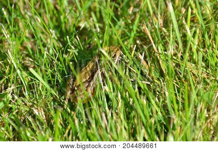 common frog sitting camouflaged in green grass
