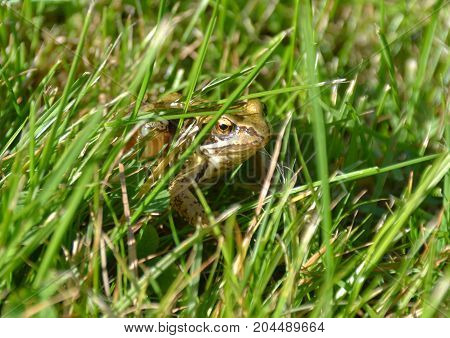 common frog sitting in a grassy area