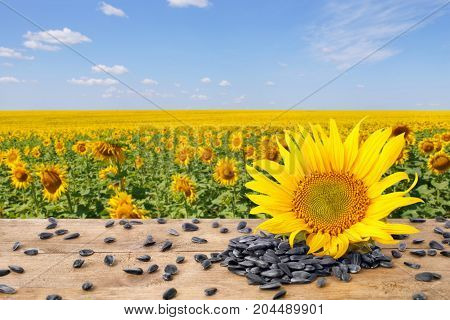 heap of sunflower seeds and fresh sunflower on wooden table with natural background. Blooming sunflower field with blue sky. Agriculture and harvest concept
