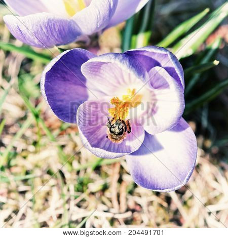 Honey bee - Apis mellifera pollinate Crocus heuffelianus flower. Spring time scene. Beauty photo filter.