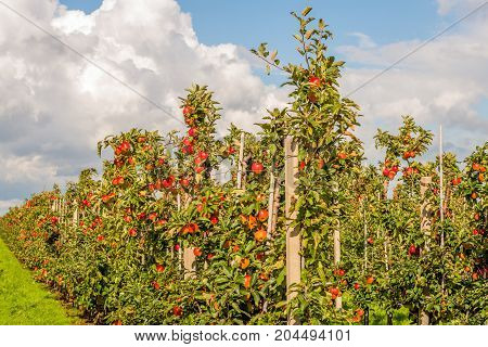 Dutch apple orchard with low espaliers and many ripening red colored Elstar apples. It is a sunny day in the late summer season.