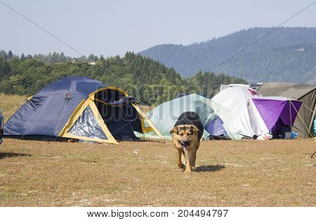Big dog breed german shepherd dog. Dog traveler is resting next to a tent in the mountain.