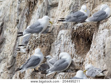 Kittiwake (Rissa tridactyla) nesting with young chick