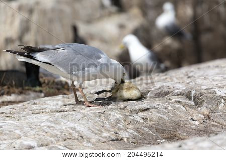 Herring gull (Larus argentatus) killing a Guillemot chick